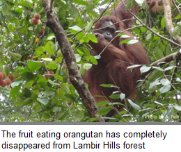 The fruit eating orangutan has completely disappeared from Lambir Hills forest
