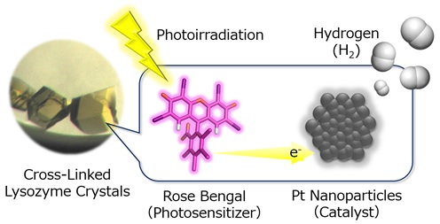 Image caption: Hydrogen (H2) evolution systems constructed in cross-linked porous lysozyme crystals by immobilizing Pt nanoparticles as H2-evolution catalysts in immediate proximity to an organic photosensitizer, rose bengal.<br/> Image credit: H. TABE/Osaka City University