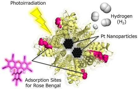 Image caption:The structure of a cross-linked porous lysozyme crystal immobilizing Pt nanoparticles and rose bengal.<br/> Image credit: H. TABE/Osaka City University