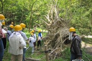Observation of roots of tulip trees