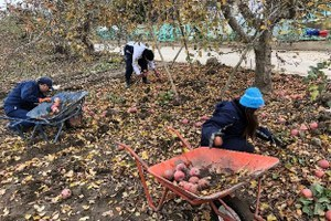 Collecting damaged apples in the apple field
