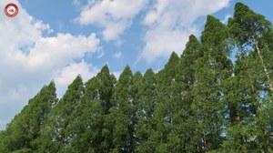botanicalgardens_metasequoia2.JPG