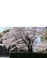 s_sakura003.jpg