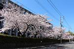 s_sakura004.jpg