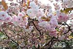 さくらさくらさくらがきれいに咲いています、思わず踊りだしそうです