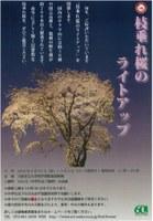 理学部附属植物園 「枝垂れ桜のライトアップ」を開催します!