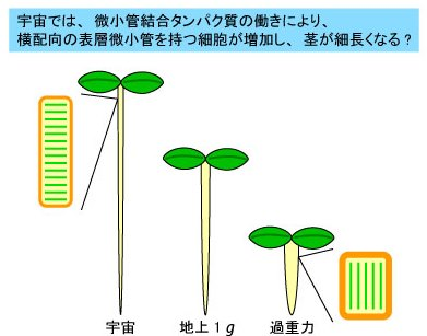 重力による茎の形態変化における表層微小管と微小管結合タンパク質の役割