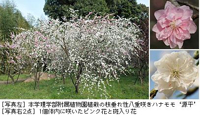 「源平咲きハナモモのピンク色花弁で働くPeace遺伝子を単離」理学部附属植物園講師ら英国科学誌に掲載