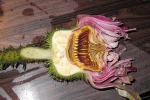 パラグアイオニバスの花の断面