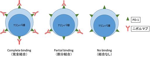 """図:ニボルマブとTリンパ球の結合の様子。<br /> 治療中止後のニボルマブとTリンパ球の結合状態は<br />""""完全結合""""、""""部分結合""""、 """"結合なし""""と3つの状態に分けられる。"""