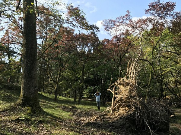倒木したユリノキの根