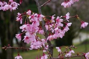 美しく咲く与謝野晶子桜