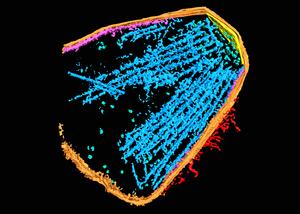 部分的に単離した滑走装置の三次元像。<br /> 細胞膜,膜表面の滑走装置,内部の滑走装置が<br />オレンジとピンク、赤、青で示してある。