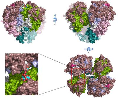 解明したNap構造  白い部分以外は免疫システムを逃れるために構造が変化する部分。左下の拡大部分が宿主の表面構造であるシアル酸オリゴ糖(赤とスカイブルーで示された構造)に結合する部位を示す。 @大阪市立大学 宮田真人