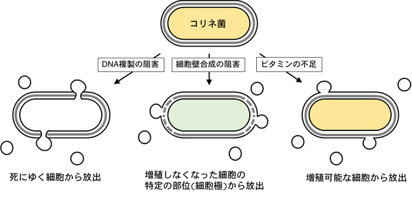 図2 コリネ菌が有する三つの膜小胞放出経路