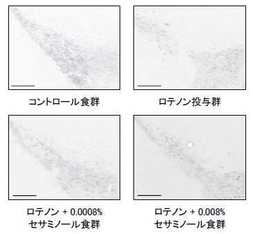図5:マウスの中脳黒質における<br/>Tyrosine hydroxylase (TH)の発現
