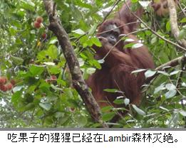 吃果子的猩猩已经在Lambir森林灭绝